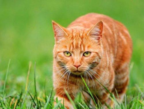 К чему снится рыжий кот