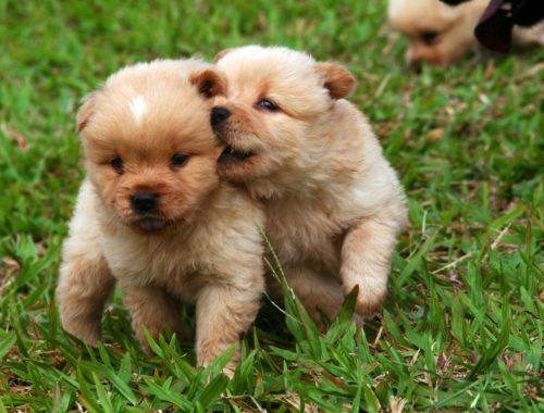 К чему снится два маленьких щенка