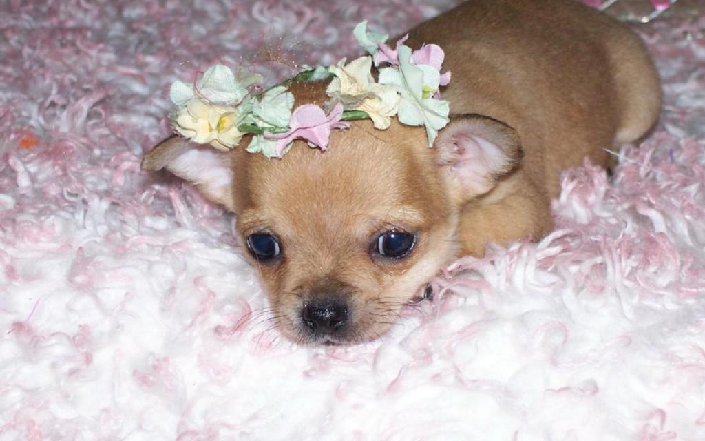 К чему снится маленькая собака