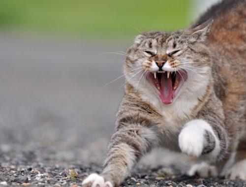 К чему снится злая нападающая кошка