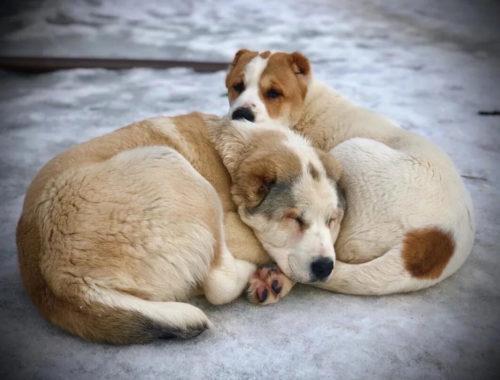 К чему снятся две собаки